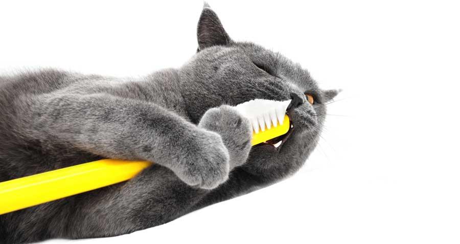 cat brushing teeth