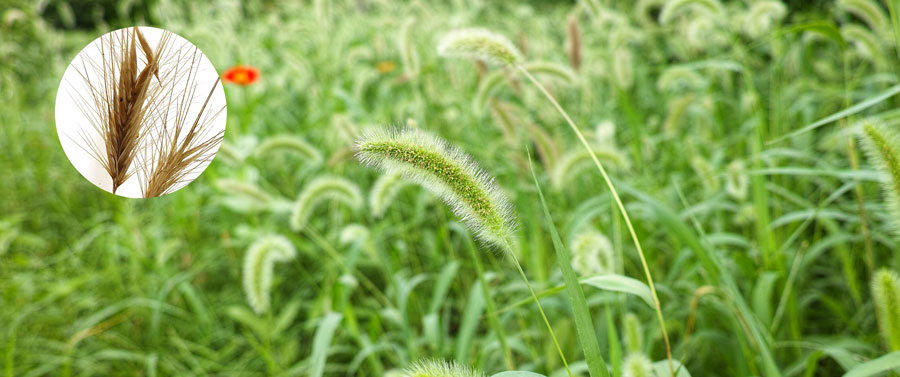 Dangers of Foxtail to your dog and cat