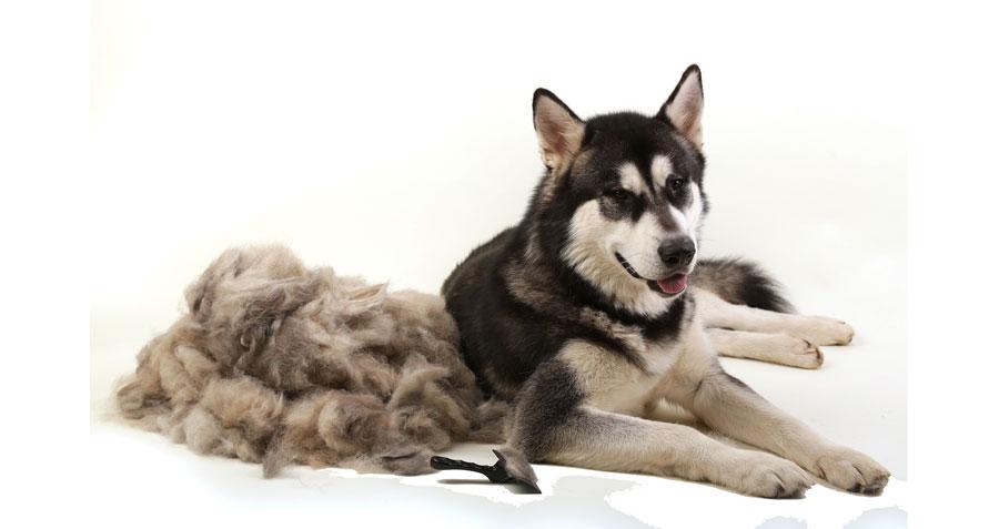 Dog blowing his coat