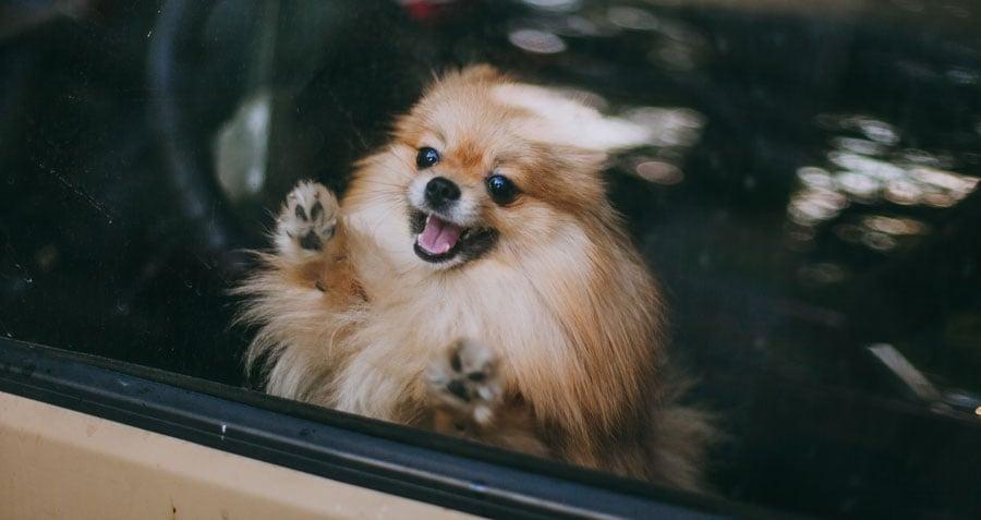 Dog in hot car