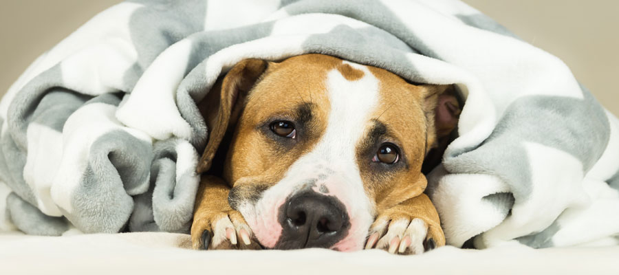 Dog with Canine Flu