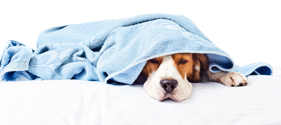 Dog with the flu