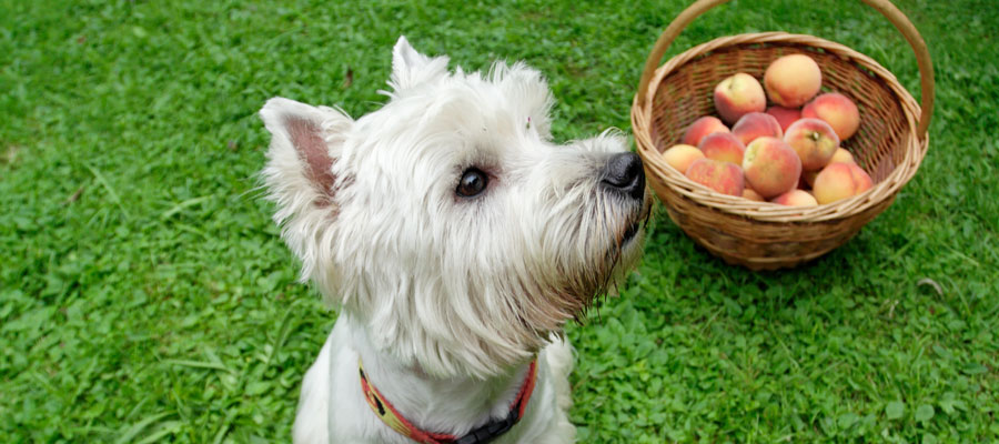 Dogs and pitted fruit