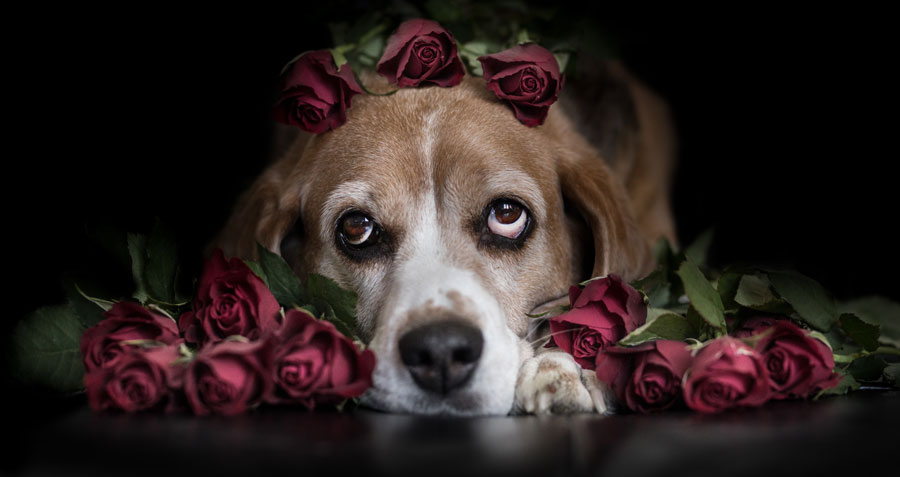 are roses toxic to dogs?