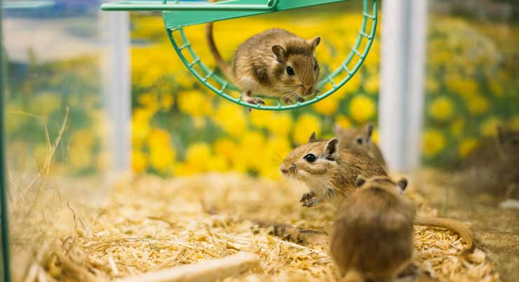 Gerbils need exercise and socialization