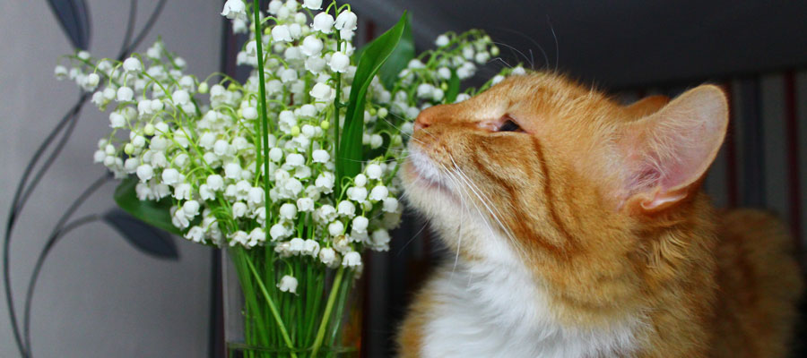 Lilies poisonous to pets