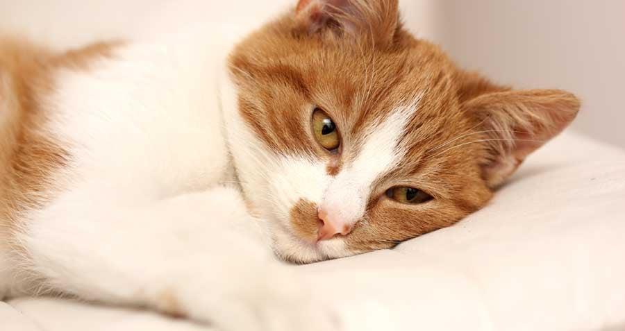 Tired Sick Cat