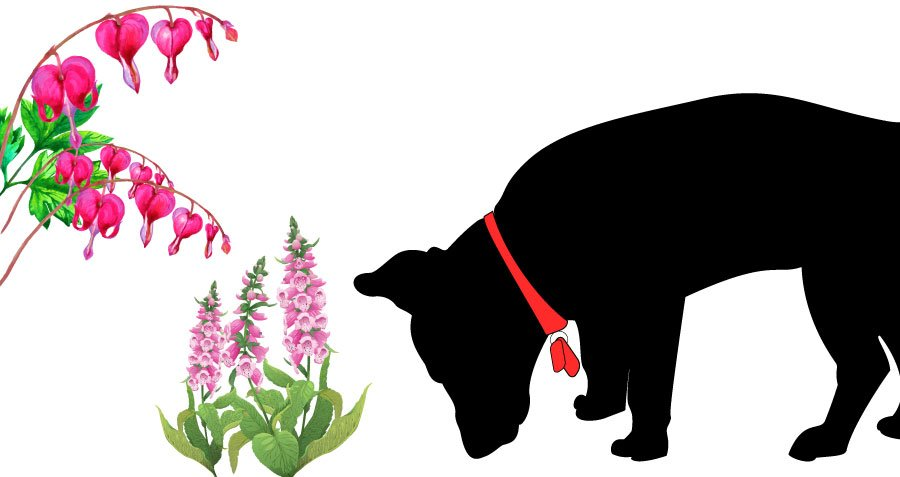 dog sniffing at foxglove and bleeding heart