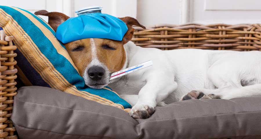Dog with influenza