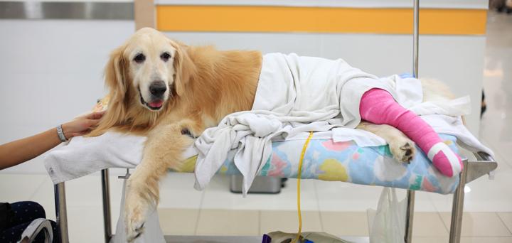 Dog After Knee Surgery
