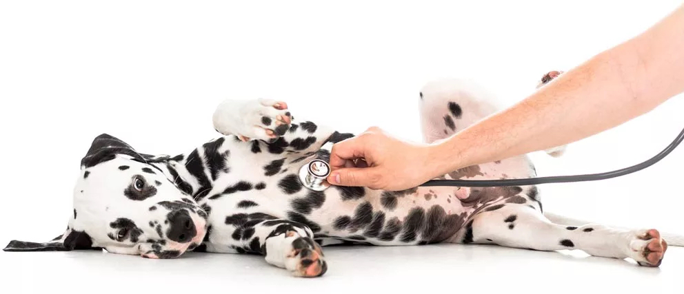 Doctor using stethoscope on Dalmatian