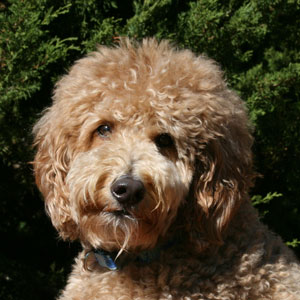 Happy goldendoodle client